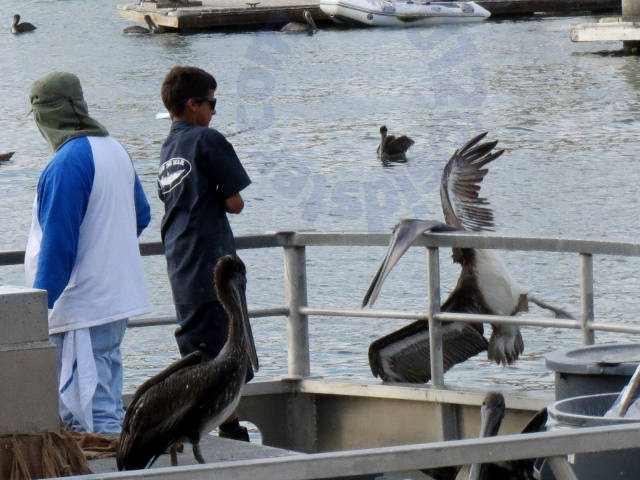 Pelican flung off the boat